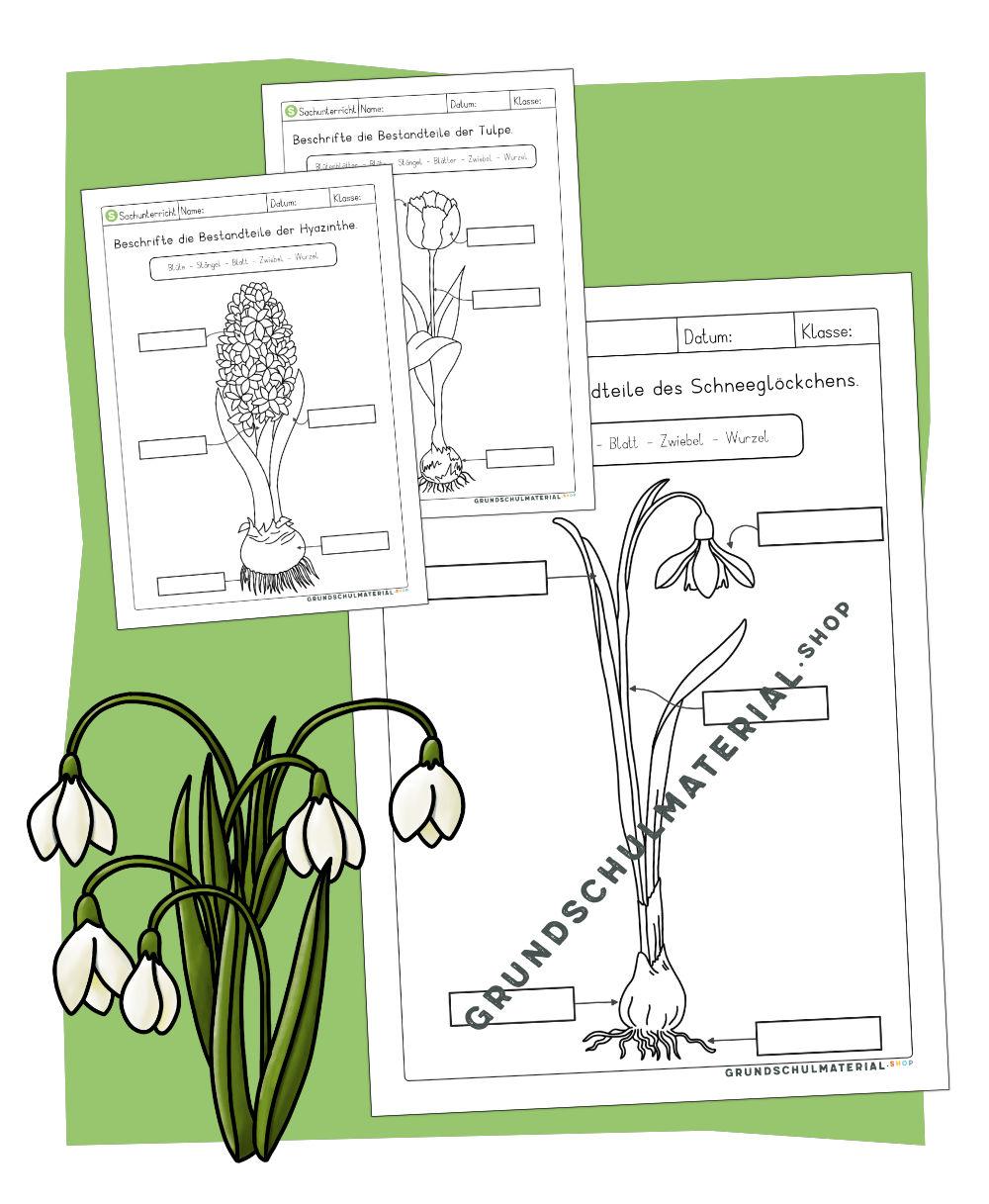 Arbeitsblätter Frühblüher Teile beschriften